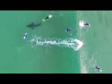 Great White Shark Seen Swimming Beneath Surfers
