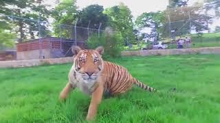 BIG CATS VS DRONE Compilation! Tigers and  Lion VS DJI Phantom and Inspire