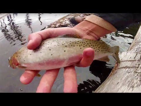 Dry fly fishing a mountain pond for colorful cutthroats