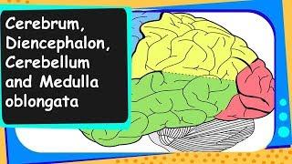 Biology - Cerebrum, Cerebellum, Medulla oblongata - Control and coordination - Part 4 - English