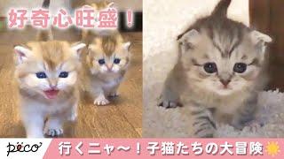 みんな〜!行くよ〜!🐱 好奇心旺盛な子猫達の大冒険✨ 【PECO TV】   Kholo.pk