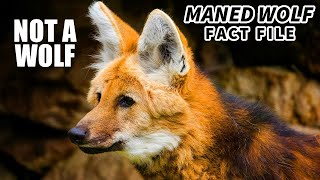 Maned Wolf facts: also not a fox | Animal Fact Files