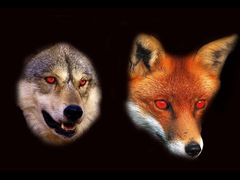 Lupi e Volpi Sono Nocivi?