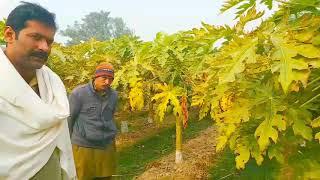 5 Secret of Papaya Farming |पपीता की खेती के 5