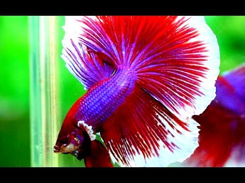 Video Ikan cupang stres.. apa yang perlu dilakukan ( betta fish stress.. what should i do..?? )