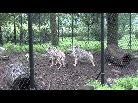 Grey Wolf Howl And Coyotes Cry.