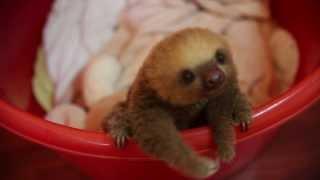 Cute Baby Sloth In Costa Rica, Meet Hope