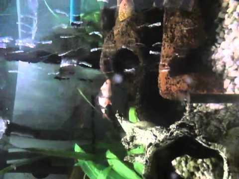 Die Parasiten in sljunnych die Drüsen