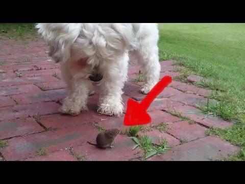 Dog is playing with dangerous mouse (Hund spielt mit gefährlicher Maus)funny cute sweet fuck cat pet