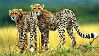 Дикие животные Африки. Гепард. Спринтер. 120 км в час. Документальный фильм National Geogr