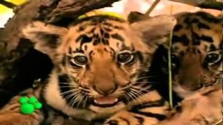 El Tigre tigris  Documental Nacimiento y vida