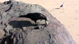 Killing Wild Ravens Using Poisoned Eggs?