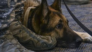 Years After She Was Separated From Her Sergeant, This Military Dog Heard Him Calling Her Name