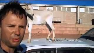 Смотреть онлайн Коза буянит на машине хозяина