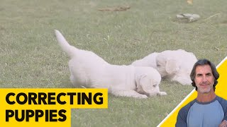 Correcting a 6 month Old Puppy - Robert Cabral Puppy Dog Training VIdeo