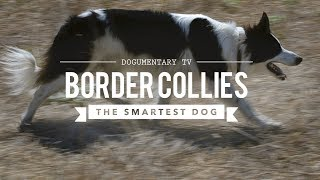 BORDER COLLIE THE WORLDS SMARTEST DOGS