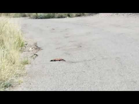 Gila Monster crossing campground road
