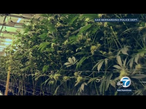 Police bust massive marijuana grow in San Bernardino | ABC7