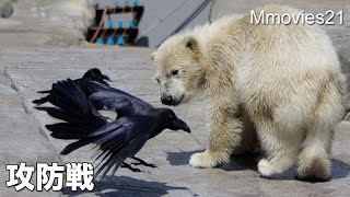 Cub vs Crows in lunch time こぐま vs カラス
