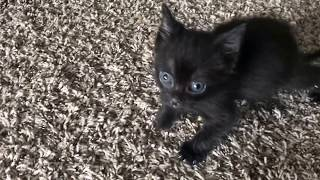 Tiny Kitten is Angry