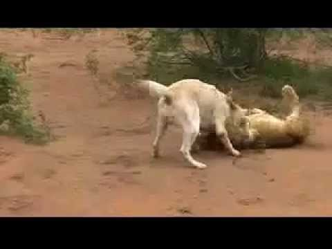 Kangal Kills Lion