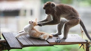 Cat vs. Monkey - a cute and funny fight!