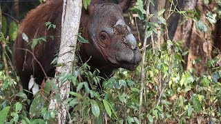 Sumatran rhino Harapan: Cincinnati Zoo travels to Sumatra to save an endangered species