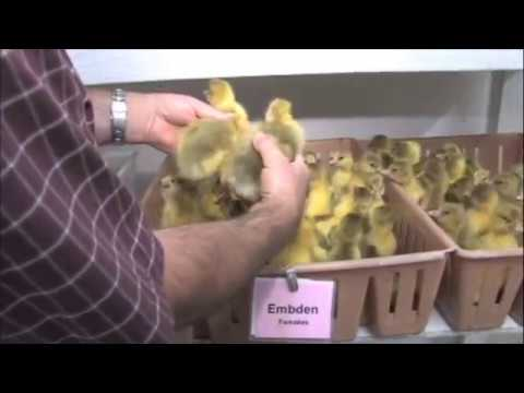, title : 'How to Sex Ducklings and Goslings - Metzer Farms