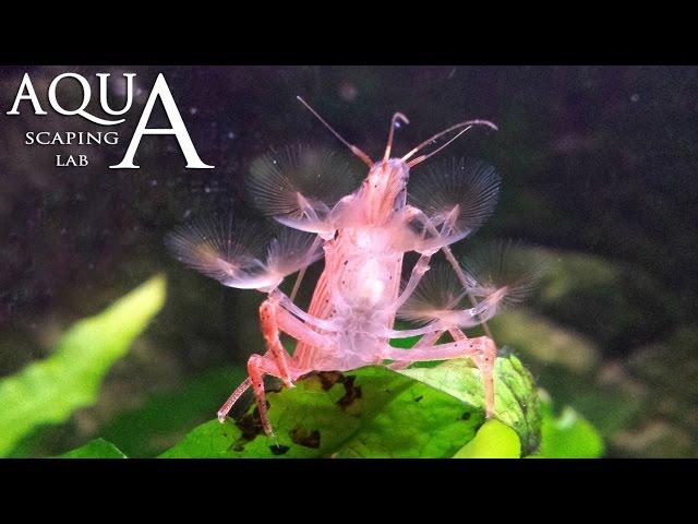 Aquascaping Lab -  Atyopsis Moluccensis Shrimp Bamboo Shrimp description / Gambero radar descrizione
