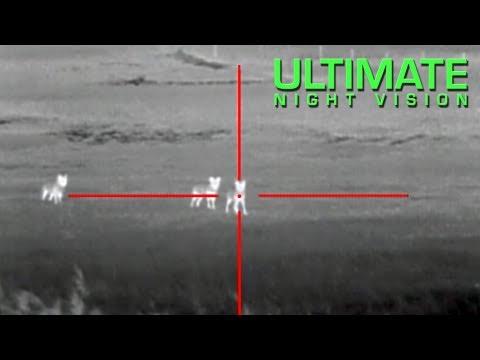 Lov kojotů za pomoci termokamery
