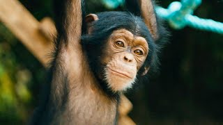 Baby Chimps Learn How To Climb | BBC Earth