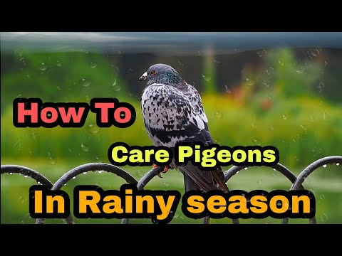 , title : 'How to take care your pigeons  rainy🌧️ and winter⛈️ season | தமிழில் | Pr Pigeons