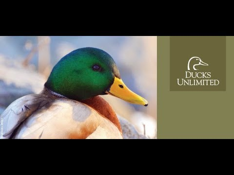 Skagit Ducks Unlimited Colin Sands - Fundraising Auction Thank You Message