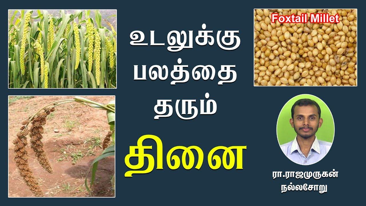 உடலுக்கு பலத்தை தரும் தினை அரிசியை எவ்வாறு பயன்படுத்துவது? | How to use Foxtail Millet (Thinai)?