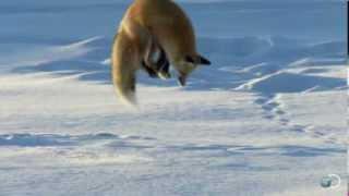 Смотреть онлайн Лиса ловит мышей, прыгая в снег вниз головой