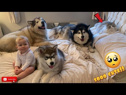 Our Morning Routine, 3 Giant Malamutes A Baby And A Cat!! (CUTEST EVER!!)