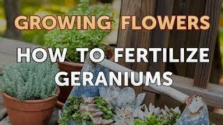 How to Fertilize Geraniums