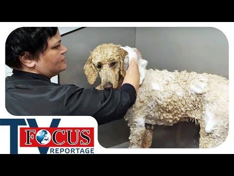 Waschen, Föhnen, Schneiden - Der Hundefriseur | Focus TV Reportage