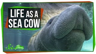 Life as a Sea Cow