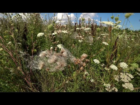 Nature video ramble, wild flowers and grasses, August 3, 2019 (60fps)