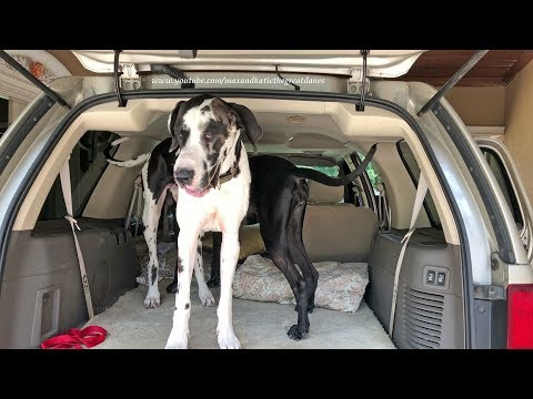 Excited Great Danes Love To Go For A Car Ride
