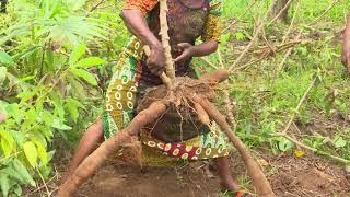 Agriculture: Production du manioc, les femmes congolaises formées en Côte d'Ivoire