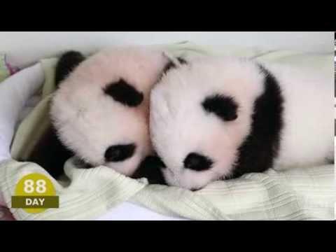 La Adorable Historia De Vida De 2 Pandas