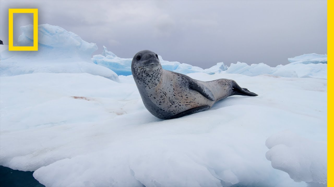 Leopard Seals Play and Hunt in Antarctica | National Geographic thumbnail