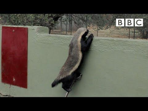 Medojed na útěku