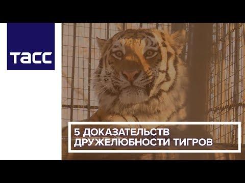 5 доказательств дружелюбности тигров