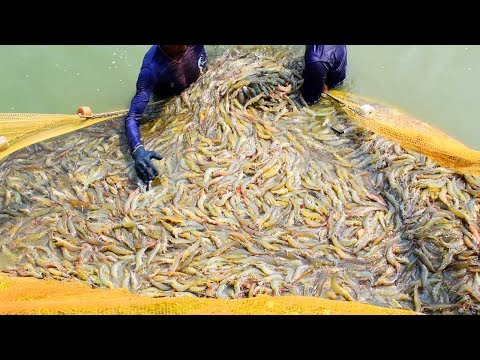 , title : 'Shrimp Farming and Prawn Farming Business in india || prawn fishing in the pond || চিংড়ি মাছ চাষ