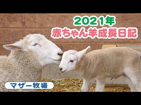 赤ちゃん羊成長日記 2021年