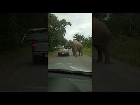 Голодный слон напал на автомобиль в поисках еды