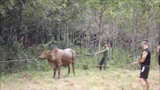 Matando un toro en las FARC EP